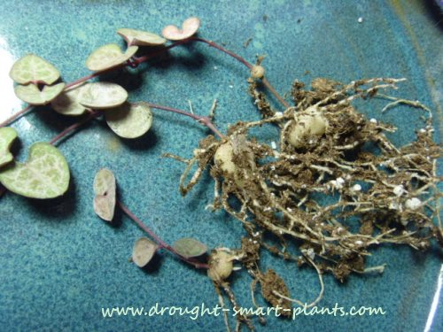 funny little water storing tubers of Hearts Entangled