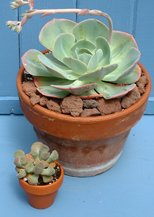 Echeveria imbricata and Aloinensis