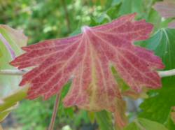 Pink fall color is a prized result of a dry summer