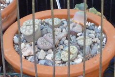 How to Grow Lithop