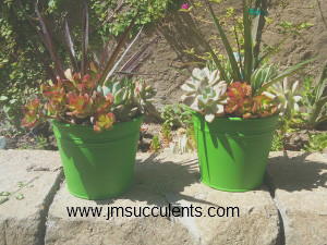 Fanciful green buckets with lush succulents