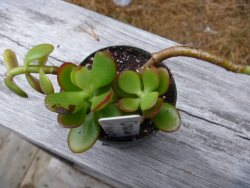 Jade Plants are easy to grow from cutting