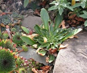 Lewisia foliage; bland and unexciting