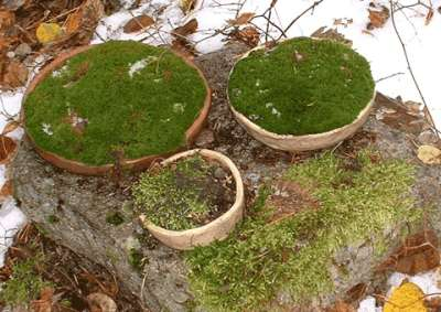 Verdant Moss growing in shallow bonsai bowls