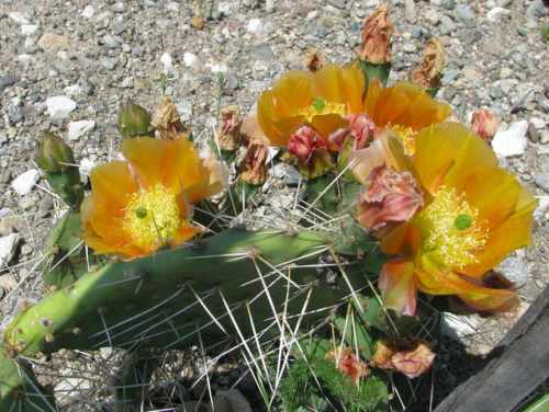 This unusual orange flowered species of Opuntia will go in the wheelbarrow...