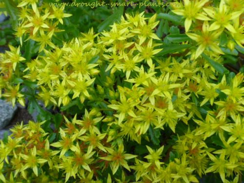 Gorgeous golden blooms cover the entire plant in July...