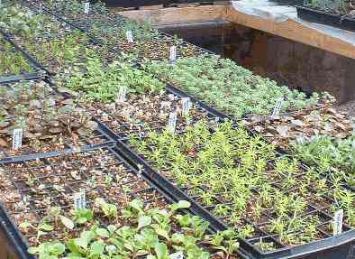 Sedum plug production