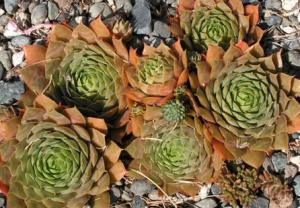 Sempervivum species showing some unusual coloration after a long drought