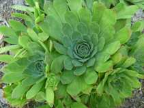 Sempervivum tectorum, the roof hens and chickens and how to grow them...