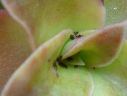 Succulent Plant Picture with Insects