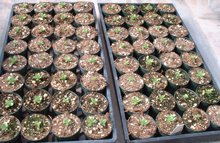 Succulent Plant Propagation by seed
