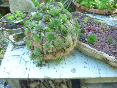 Succulent Sphere planted with hardy Sempervivum
