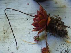 Sempervivum rosette wired up into the center