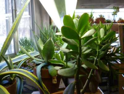 Succulent Plant Care Light Soil And Cultivation