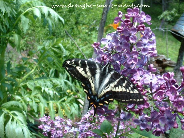 Swallowtail on Syringa, the common lilac...