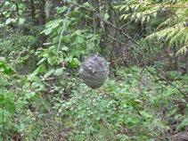 Wasp Nest in the forest; perfectly placed and built by the wasp engineers
