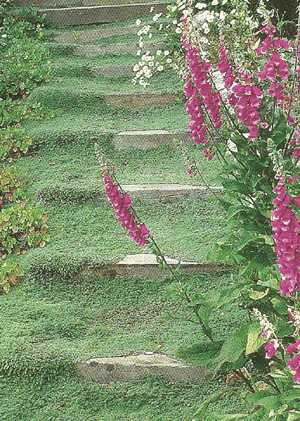 Woolly Thyme Step