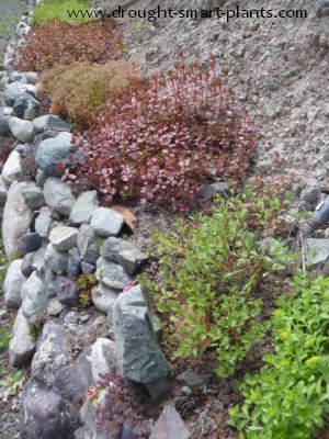 Dry stacked stone walls are home to many little critters and some drought loving plants