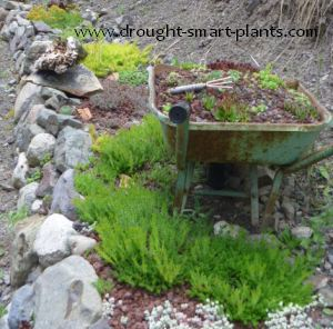 Xeriscaping With Sedum In Rock Walls