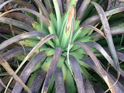 Closeup of first agave