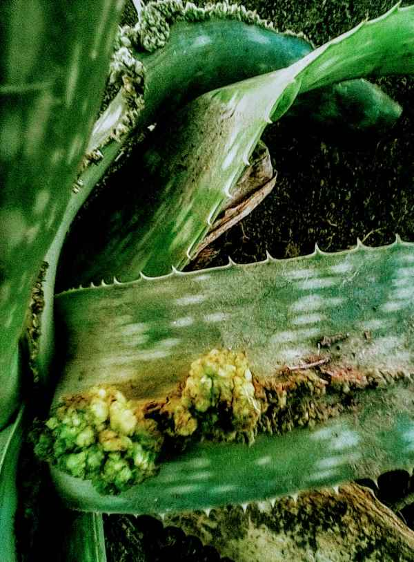 Fasciation in the middle of an Aloe leaf
