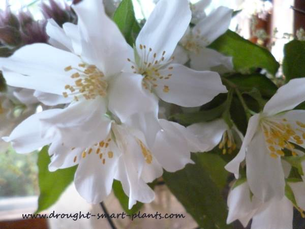 Philadelphus lewissia, Mock Orange