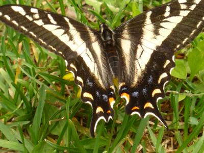 Anise Butterfly, newly hatched