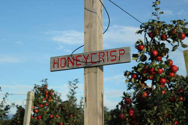 Honeycrisp Apple Sign