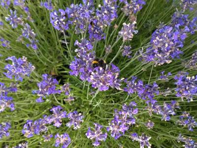 Lavender (perennial) bees love this plant