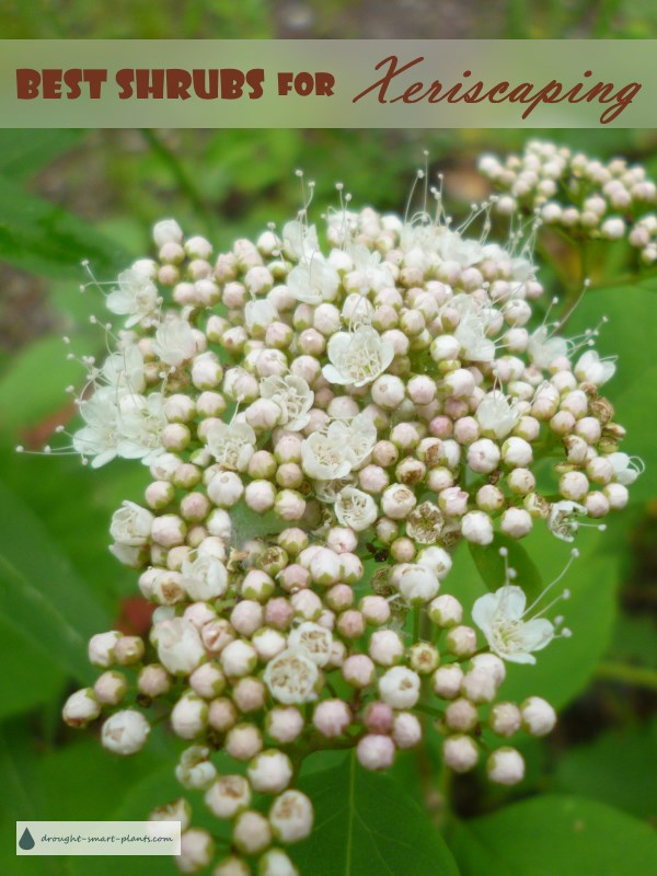 Some of the best drought tolerant shrubs are native