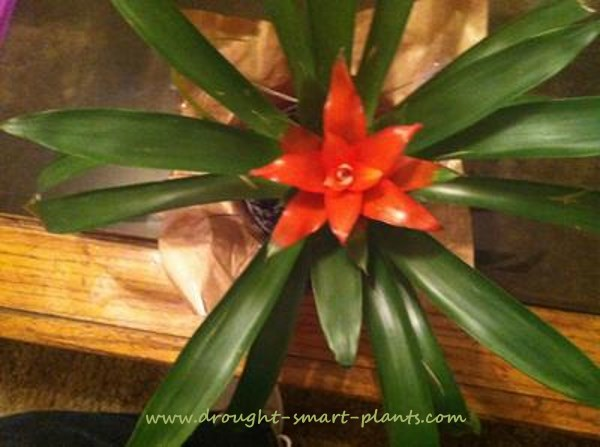 Bromeliads are brightly colored...