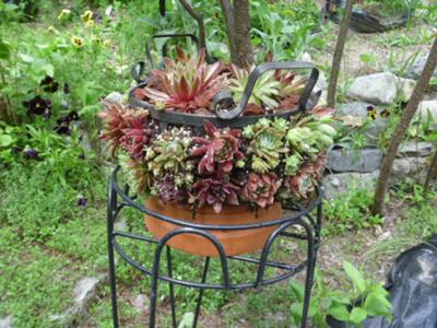 metal basket with Sempervivum