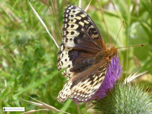 Thistles and other 'weeds' are full of nectar