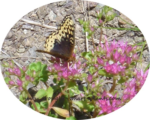 Butterflies and other pollinators love Sedum