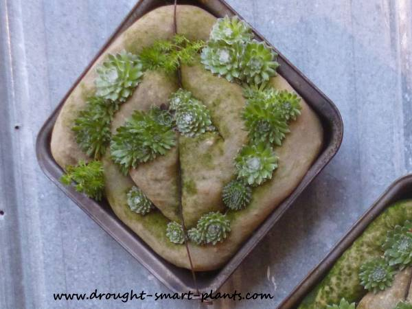 Moss is starting to take advantage of the conditions of the Cake Tin Succulent Mosaics too...