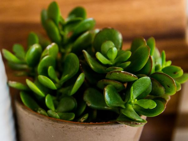 Jade Plant or Money Tree