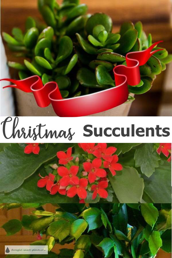 Christmas Succulents