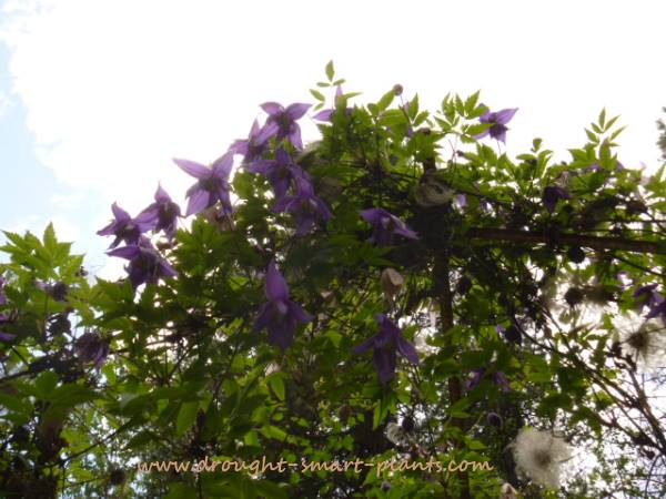 Clematis macropetala or similar species, grown from seed...