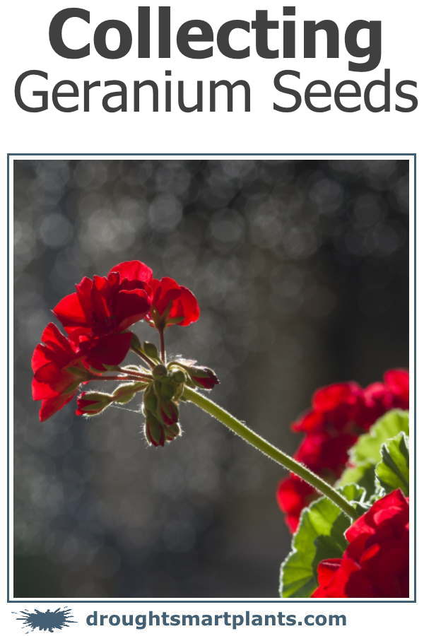 Collecting Geranium Seeds