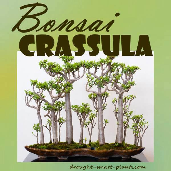 Bonsai Forest of Crassula ovata...