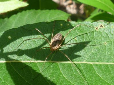 Daddy Long Legs waiting for lunch