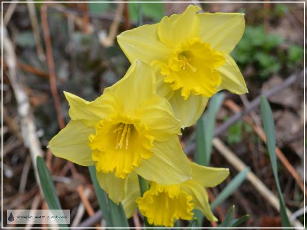 Narcissus 'King Arthur'