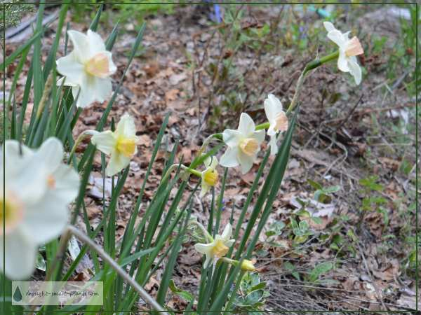 Narcissus 'New Baby'