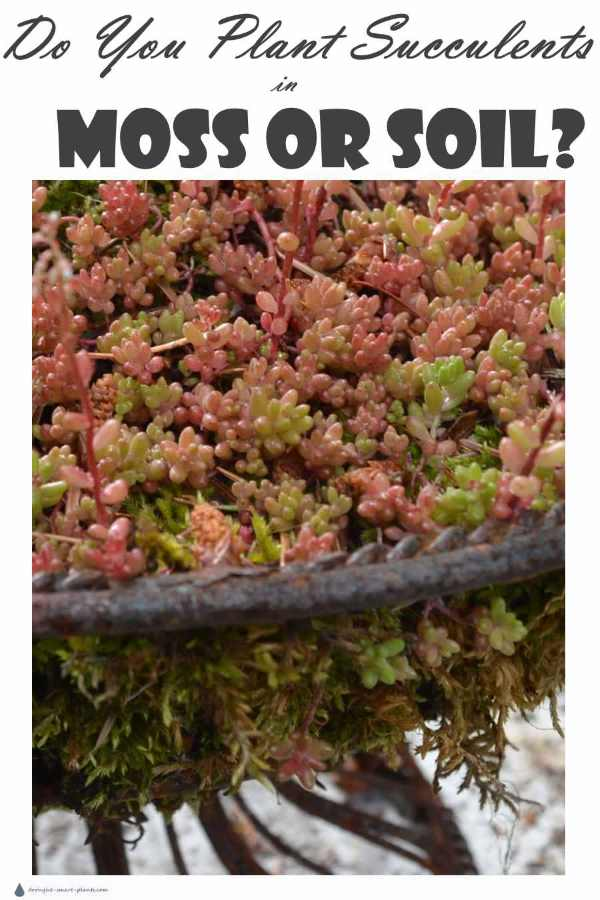 Do you plant Succulents in moss or soil?