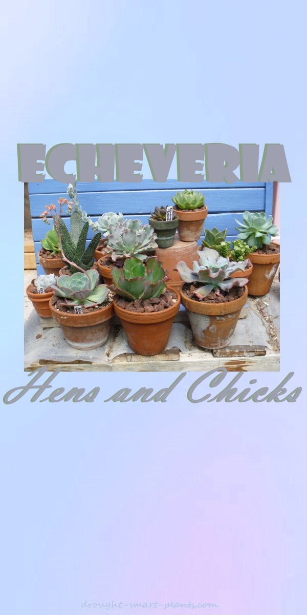 Echeveria - words to ponder