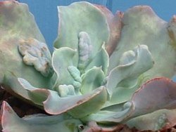 Echeveria 'Paul Bunyan' is one of the most well known 'warty' kinds...click for more...