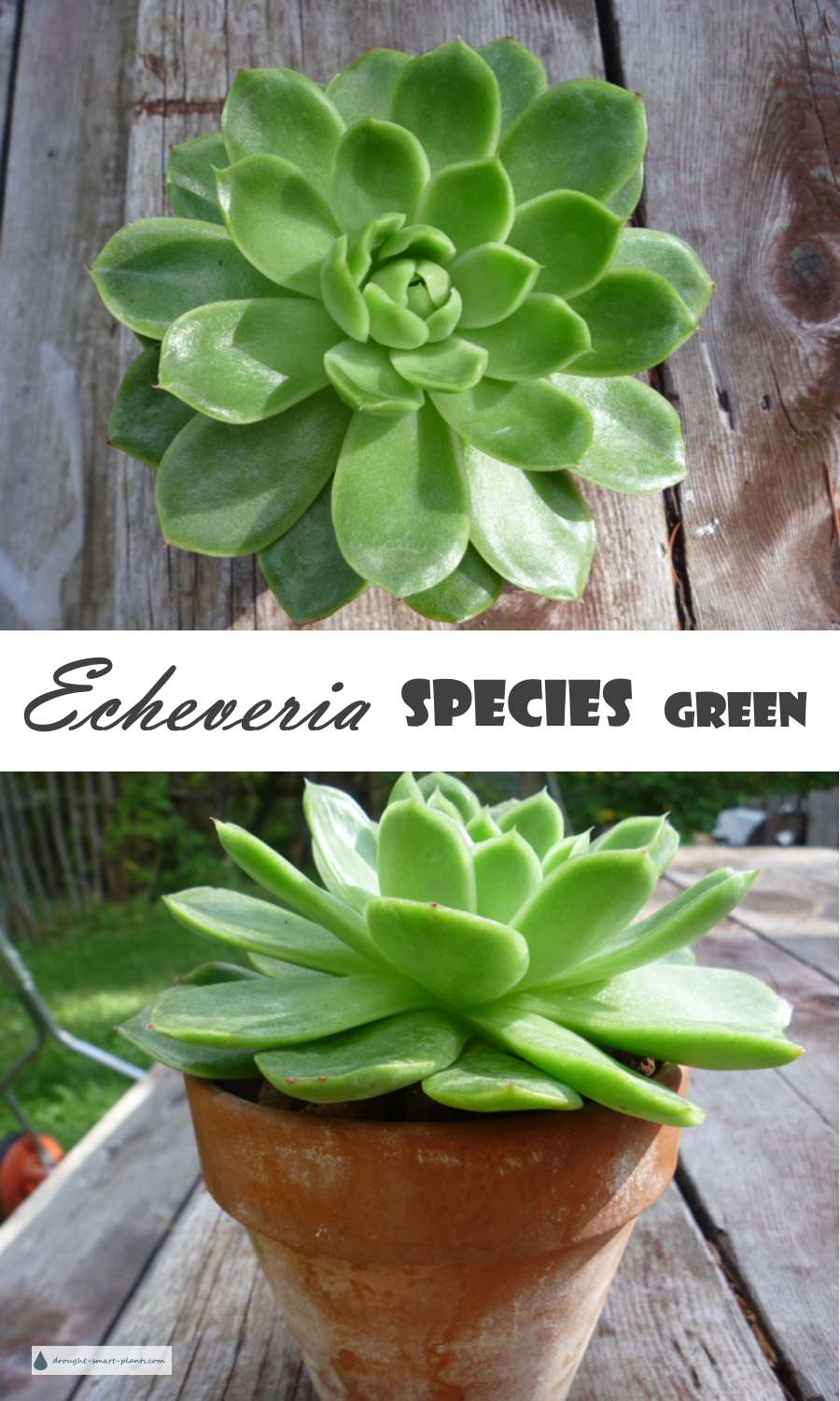 Echeveria species green
