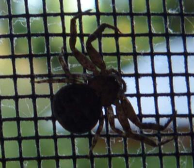 Elegant Crab Spider, silhouetted against the window screen