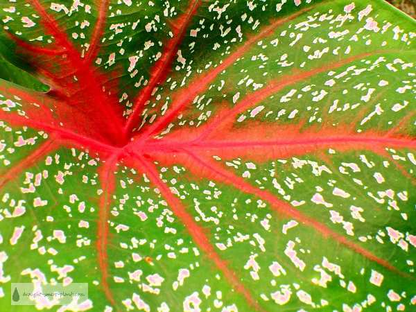 Gorgeous red veining and white speckles make this Caladium a stand out