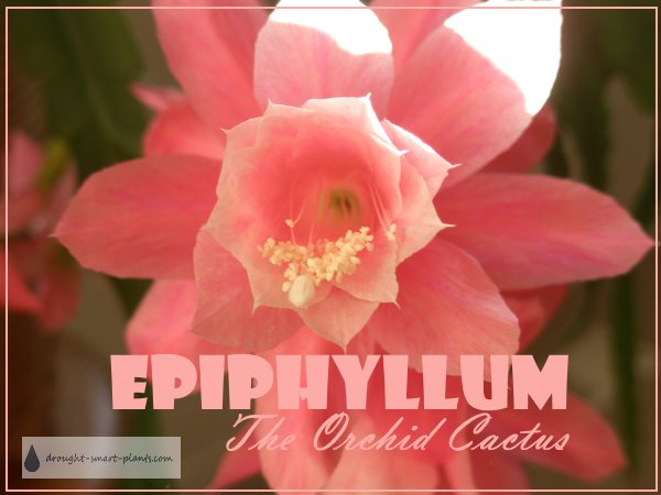 Epiphyllum, the Orchid Cactus